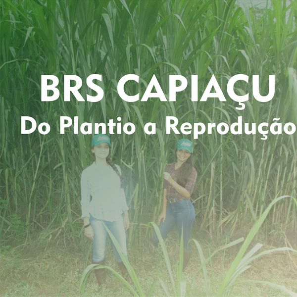 Imagem principal do produto BRS Capiaçu do Plantio a Reprodução