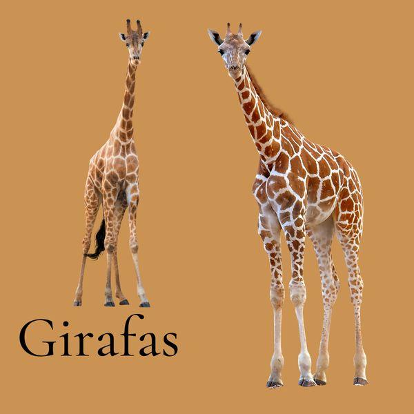 Imagem principal do produto Imagens de Girafas em  PNG