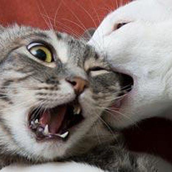 Imagem principal do produto Briga entre Gatos Residentes